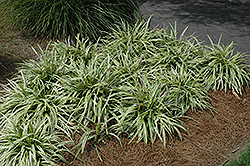 Variegata Lily Turf (Liriope muscari 'Variegata') at Schaefer Greenhouses