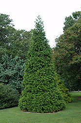 Green Giant Arborvitae (Thuja 'Green Giant') at Schaefer Greenhouses
