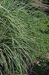 Little Zebra Dwarf Maiden Grass (Miscanthus sinensis 'Little Zebra') at Schaefer Greenhouses