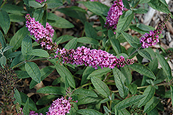 Lo And Behold® Pink Micro Chip Dwarf Butterfly Bush (Buddleia 'Lo And Behold Pink Micro Chip') at Schaefer Greenhouses