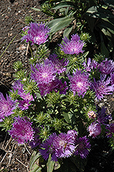 Peachie's Pick Aster (Stokesia laevis 'Peachie's Pick') at Schaefer Greenhouses