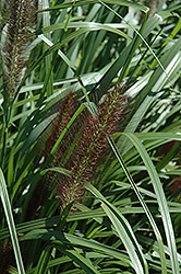 Red Head Fountain Grass (Pennisetum alopecuroides 'Red Head') at Schaefer Greenhouses