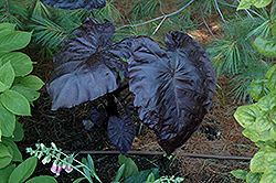Royal Hawaiian® Black Coral Elephant Ear (Colocasia esculenta 'Black Coral') at Schaefer Greenhouses