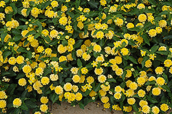 Landmark Yellow Lantana (Lantana camara 'Landmark Yellow') at Schaefer Greenhouses