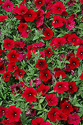 Easy Wave® Red Velour Petunia (Petunia 'Easy Wave Pink Passion') at Schaefer Greenhouses