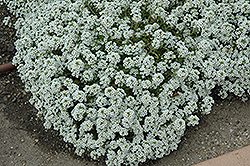 Clear Crystal White Sweet Alyssum (Lobularia maritima 'Clear Crystal White') at Schaefer Greenhouses