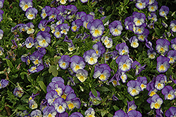 Halo Sky Blue Pansy (Viola cornuta 'Halo Sky Blue') at Schaefer Greenhouses