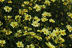 Full Moon Tickseed (Coreopsis 'Full Moon') at Schaefer Greenhouses