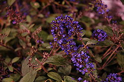 Lo And Behold® Blue Chip Junior Dwarf Butterfly Bush (Buddleia 'Lo And Behold Blue Chip Junior') at Schaefer Greenhouses