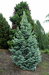 Compact Alpine Fir (Abies lasiocarpa 'Compacta') at Schaefer Greenhouses