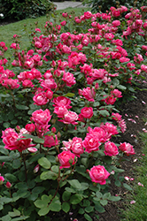 Double Knock Out® Rose (Rosa 'Radtko') at Schaefer Greenhouses
