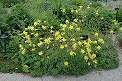 Denver Gold Columbine (Aquilegia chrysantha 'Denver Gold') at Schaefer Greenhouses