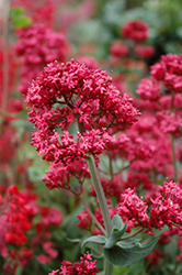 Red Valerian (Centranthus ruber) at Schaefer Greenhouses