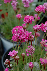 Splendens Sea Thrift (Armeria maritima 'Splendens') at Schaefer Greenhouses