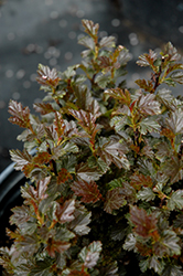 Tiny Wine® Ninebark (Physocarpus opulifolius 'SMPOTW') at Schaefer Greenhouses