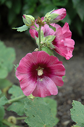 Halo Cerise Hollyhock (Alcea rosea 'Halo Cerise') at Schaefer Greenhouses