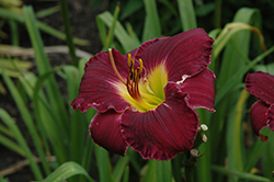 Bela Lugosi Daylily (Hemerocallis 'Bela Lugosi') at Schaefer Greenhouses