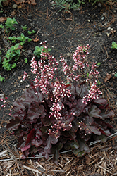 Dolce® Brazen Raisin™ Coral Bells (Heuchera 'Inheubrara') at Schaefer Greenhouses