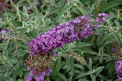 Blue Knight Butterfly Bush (Buddleia 'Blue Knight') at Schaefer Greenhouses