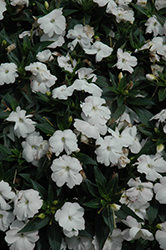 SunPatiens® Compact White New Guinea Impatiens (Impatiens 'SunPatiens Compact White') at Schaefer Greenhouses