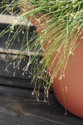 Live Wire Fiber Optic Grass (Isolepis cernua 'Live Wire') at Schaefer Greenhouses