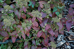 Double Play® Artisan® Spirea (Spiraea japonica 'Galen') at Schaefer Greenhouses