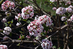 Koreanspice Viburnum (Viburnum carlesii) at Schaefer Greenhouses