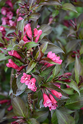 Shining Sensation™ Weigela (Weigela florida 'Bokrashine') at Schaefer Greenhouses