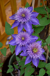 Multi Blue Clematis (Clematis 'Multi Blue') at Schaefer Greenhouses