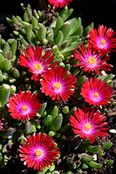 Jewel Of Desert Garnet Ice Plant (Delosperma 'Jewel Of Desert Garnet') at Schaefer Greenhouses