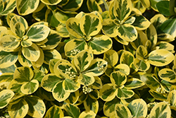 Gold Splash® Wintercreeper (Euonymus fortunei 'Roemertwo') at Schaefer Greenhouses