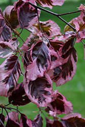 Tricolor Beech (Fagus sylvatica 'Roseomarginata') at Schaefer Greenhouses