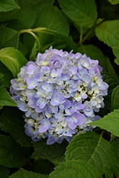 Let's Dance® Moonlight Hydrangea (Hydrangea macrophylla 'Robert') at Schaefer Greenhouses