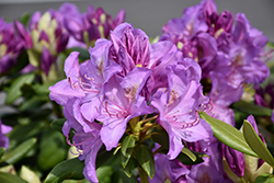 Boursault Rhododendron (Rhododendron catawbiense 'Boursault') at Schaefer Greenhouses