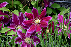 Hania Clematis (Clematis 'Hania') at Schaefer Greenhouses