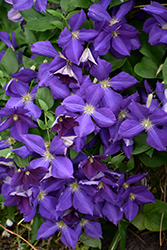 Jackmanii Clematis (Clematis x jackmanii) at Schaefer Greenhouses