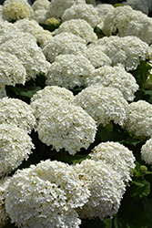 Incrediball® Hydrangea (Hydrangea arborescens 'Abetwo') at Schaefer Greenhouses