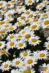 Becky Shasta Daisy (Leucanthemum x superbum 'Becky') at Schaefer Greenhouses