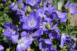 Rapido Blue Bellflower (Campanula carpatica 'Rapido Blue') at Schaefer Greenhouses