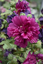 Queeny Purple Hollyhock (Alcea rosea 'Queeny Purple') at Schaefer Greenhouses