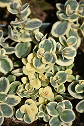 Lime Twister Stonecrop (Sedum 'Lime Twister') at Schaefer Greenhouses