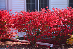 Chicago Fire Burning Bush (Euonymus alatus 'Chicago Fire') at Schaefer Greenhouses