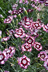 Raspberry Swirl Pinks (Dianthus 'Devon Siskin') at Schaefer Greenhouses