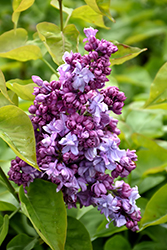 Katherine Havemeyer Lilac (Syringa vulgaris 'Katherine Havemeyer') at Schaefer Greenhouses