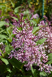 James MacFarlane Lilac (Syringa x prestoniae 'James MacFarlane') at Schaefer Greenhouses
