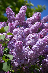 Common Lilac (Syringa vulgaris) at Schaefer Greenhouses