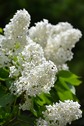 White French Lilac (Syringa vulgaris 'Alba') at Schaefer Greenhouses