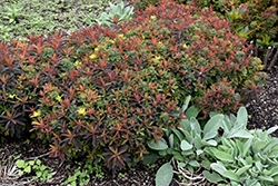 Bonfire Cushion Spurge (Euphorbia polychroma 'Bonfire') at Schaefer Greenhouses
