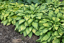 Paul's Glory Hosta (Hosta 'Paul's Glory') at Schaefer Greenhouses