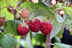 Heritage Raspberry (Rubus 'Heritage') at Schaefer Greenhouses